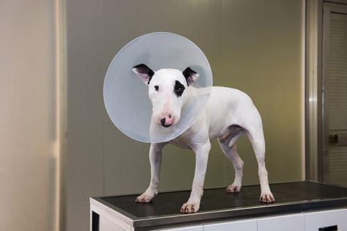 Vétérinaire Tournamy Mougins bull terrier